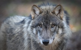 Preview wallpaper Wolf, face, look, eyes