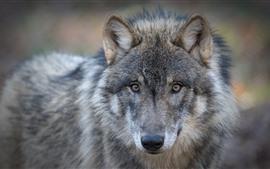 Волк, лицо, смотреть, глаза