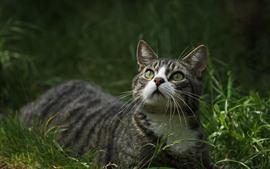 Gato mira hacia arriba, hierba