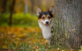 Corgi, perro, árbol, mira