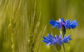 Preview wallpaper Cornflowers, blue flowers, green grass