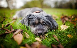 Preview wallpaper Dog, rest, look, grass, leaves