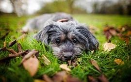 Perro, descanso, mira, hierba, hojas