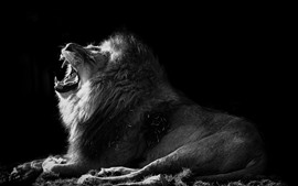 Lion, yawn, black and white picture