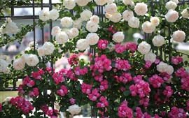 Many pink and white roses, fence