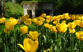 Preview wallpaper Many yellow tulip flowers, flowering, house