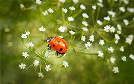 Preview wallpaper One red ladybug, white little flowers