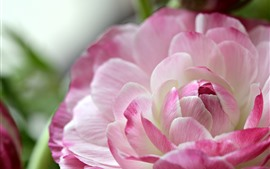 Preview wallpaper Pink ranunculus flower close-up, petals