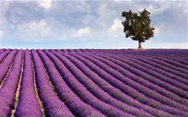Фиолетовый лавандовый поле, дерево, облака