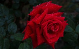 Red rose close-up, petals, water droplets, darkness