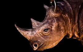 Rinoceronte, cabeça, chifre, olho, fundo preto