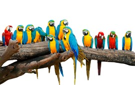 Some colorful parrots, white background