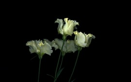 Some white tulips, flowers, black background