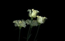 Algunos tulipanes blancos, flores, fondo negro.