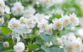 Белые цветы жасмина, лепестки, весна