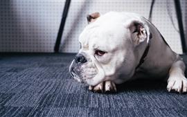 Buldogue, cão, descanso, chão