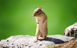 Preview wallpaper Chipmunk, standing, shadow, rock