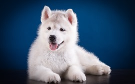 Preview wallpaper Cute white puppy, Husky dog