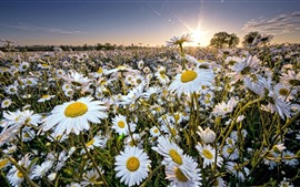 Campo de flores de margarita, rayos de sol