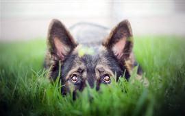 Perro, mirada, ojos, hierba verde.