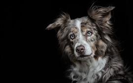 Perro, mirada, cara, ojos, fondo negro
