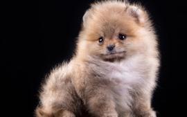 Preview wallpaper Fluffy puppy, Spitz, dog, black background
