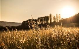 Vorschau des Hintergrundbilder Gras, Sonnenuntergang, Ährchen, Sommer