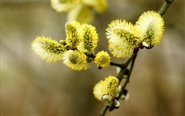 Botões de salgueiro verde, galhos, primavera