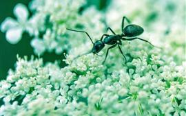 Formiga de inseto, brancas pequenas flores
