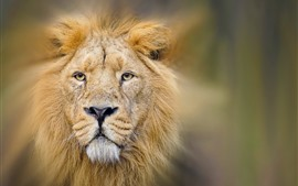 Preview wallpaper Lion, face, eyes, mane, hazy