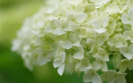 Preview wallpaper Many flowers, white hydrangea, inflorescence