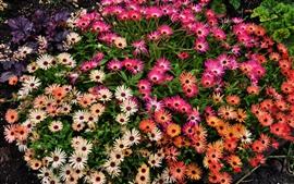 Aperçu fond d'écran Beaucoup de fleurs roses, gouttelettes d'eau, jardin