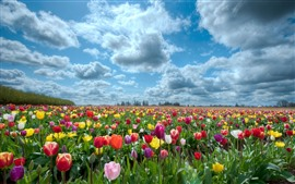 Preview wallpaper Many tulip flowers, colorful, clouds, sky