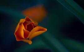 Vorschau des Hintergrundbilder Orange Blume Makrofotografie, Blütenblätter, Blatt, dunstiger Hintergrund