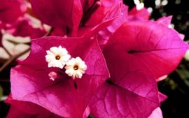 Preview wallpaper Pink bougainvillea flowers close-up, petals, pistil
