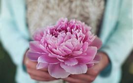 미리보기 배경 화면 핑크 모란 꽃, 꽃잎, 손, 헷갈리는
