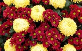 红色和黄色的菊花,许多花