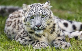 Preview wallpaper Snow leopard, rest, front view, look, eyes, grass