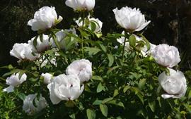 Vorschau des Hintergrundbilder Einige weiße Pfingstrosen, Blumen, grüne Blätter
