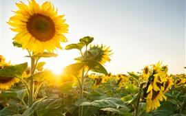 Girassóis, raios de sol, verão