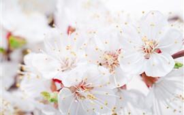 Flores de maçã branca, pétalas, pistilo, nebuloso, primavera