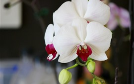 White phalaenopsis, flowers, petals, stem
