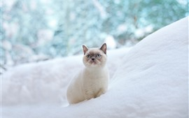 Preview wallpaper Blue eyes cat, look, snow, winter