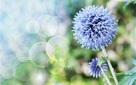 Flores azuis, bola de flores, caule, círculos leves