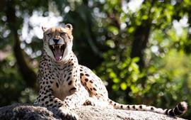 Gepard, Mund, Reißzähne, Ruhe, Sonnenschein