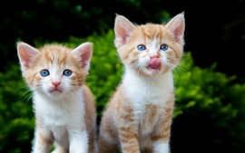 Preview wallpaper Cute two kittens, cats, blue eyes
