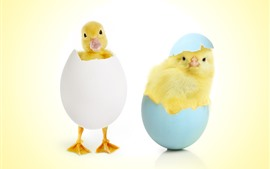 Duckling and chick, eggs