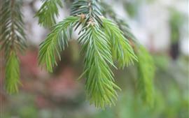 Green plants, fir twigs, needles