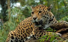 Ягуар, хищник, дикая природа