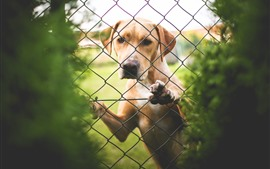 Aperçu fond d'écran Labrador, chien, clôture, regarder